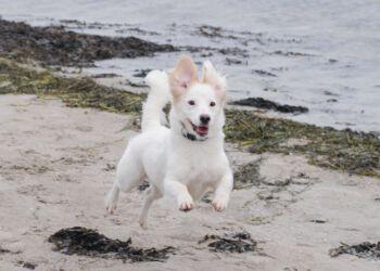 Fra den 1. oktober må hunde igen gå uden snor på de danske strande. Slip dog aldrig din hund løs, hvis ikke du har fuld kontrol over den lyder rådet fra Dyrenes Beskyttelse. Foto: Dyrenes Beskyttelse.