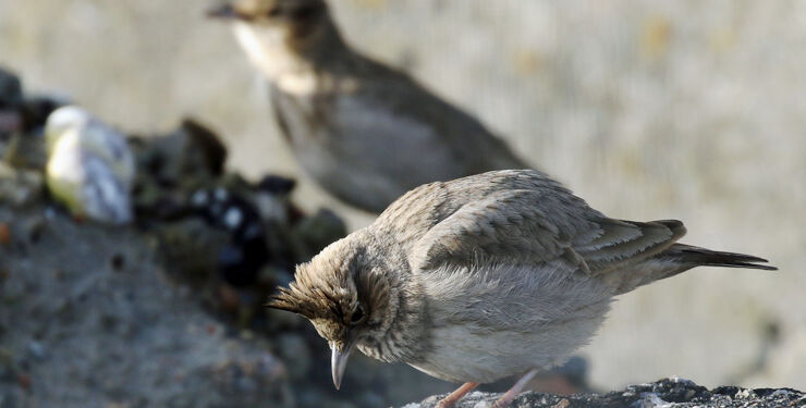Fugleatlas Foto01 Toplaerke