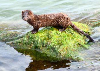 Der findes også vildt levende mink som denne amerikanske, der er tilpasset en biotop med vand. Foto: Pixabay.