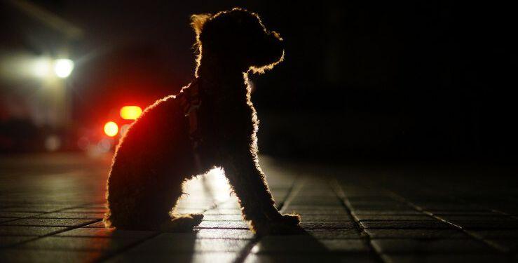 I november måned bliver det allerede mørkt ved 17-tiden, og der går ikke mange uger så er det også mørkt om morgenen. Det betyder at mange hundeejer må lufte deres hund i mørke. Rådet lyder derfor: Husk reflekser eller lys på både dig og din hund. Foto: Pixabay.